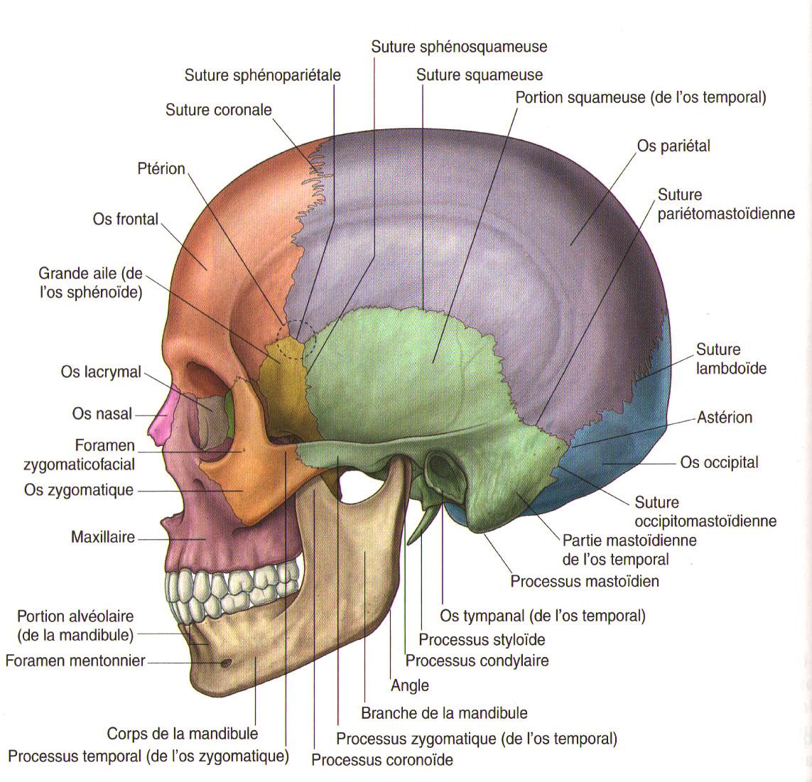 Vue latérale du crâne